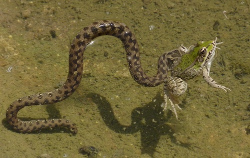 viperine snake swims with captive water frog