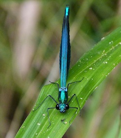 beautiful demoiselle (Calopteryx virgo) in Montseny wings closed