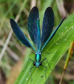 beautiful demoiselle (Calopteryx virgo) on Montseny displaying