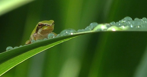 mediterranean tree frog on Montjuic after the rain