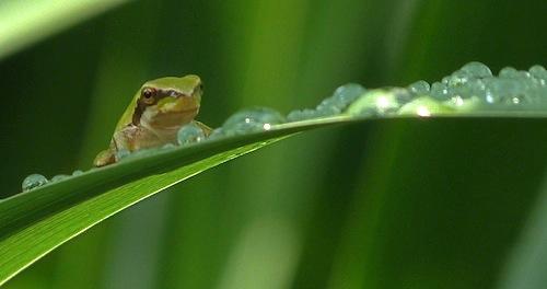 mediterranean tree frog on Montjuic after the rain