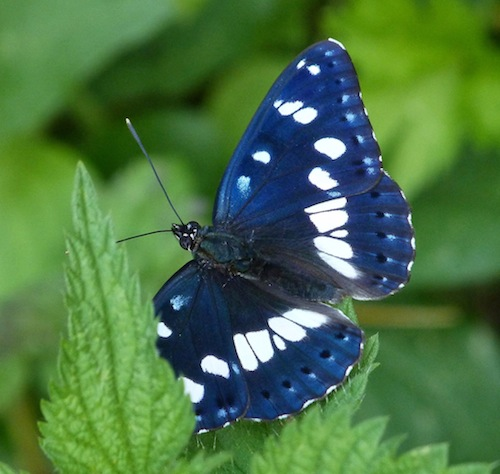 southern white admiral (Limenitis reducta) turning blue