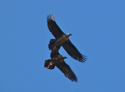 bearded vultures in the eastern pyrenees