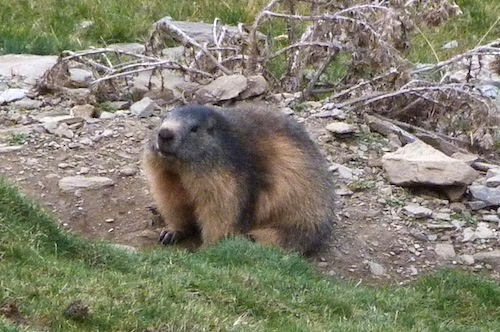 fat marmot with thick winter coat ready for hibernation