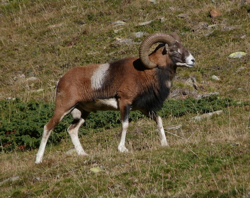 mouflon ram in the rutting season