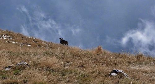 silhouette of mouflon in Vall de Nuria