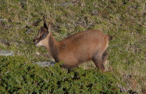young pyrenean chamois