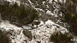 wolf in queralbs