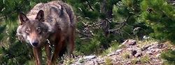 wolf on Puig Mal