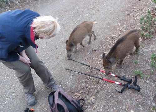 curious young boars