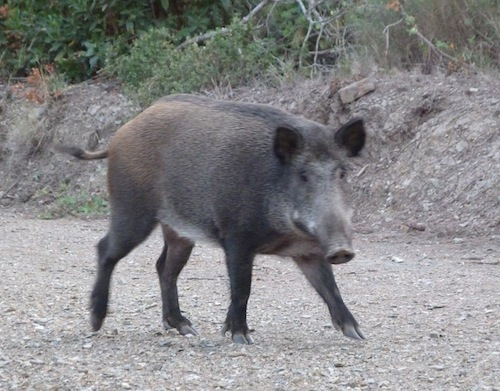 female boar in collserola