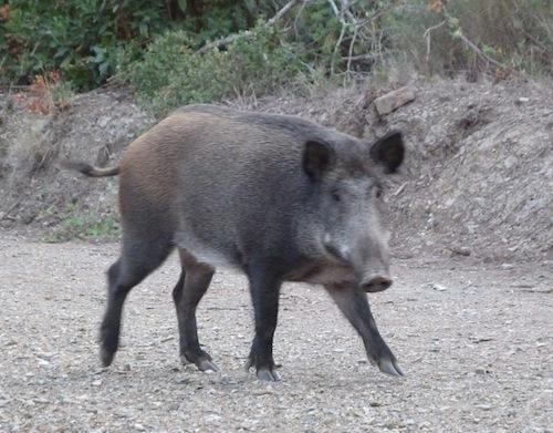 female boar in collserola