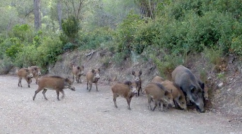 large number of young boars
