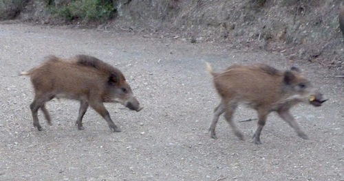 two young boars