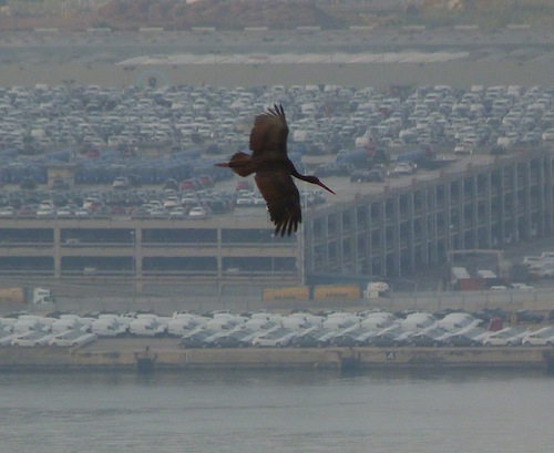 black stork flying over Barcelona's port