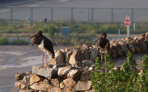 black storks on migration in Barcelona