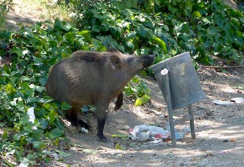 boar empties litter bin