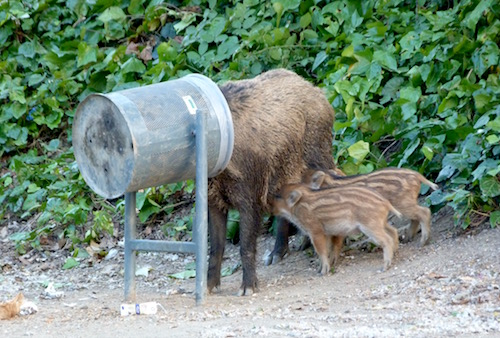 boars at the edge of Barcelona